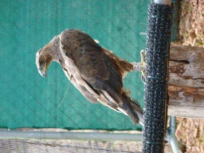El Govern libera un águila de Bonelli en el Parque Natural de Llevant