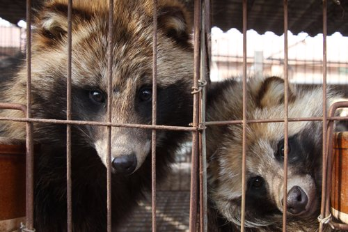 Perros mapache enjaulados en China, antes de ser despellejados vivos