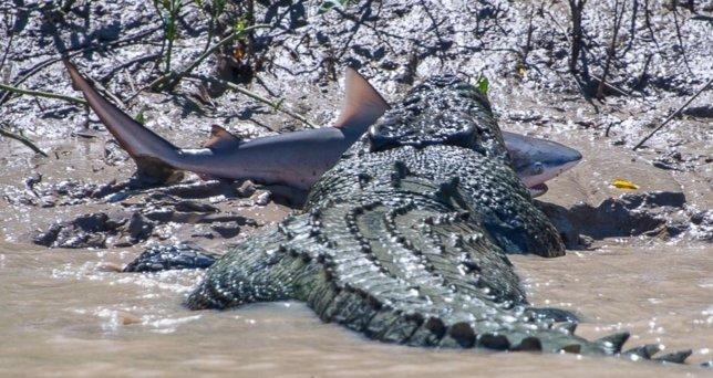 Un cocodrilo se come a un tiburón toro en un río de Australia