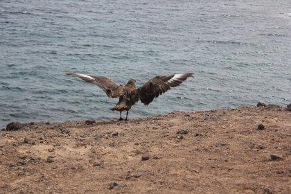 Devuelven al mar un págalo grande en Fuerteventura