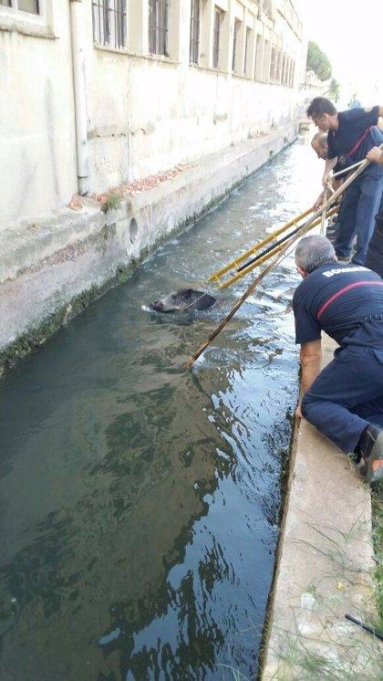 Rescatan un jabalí de 90 kilos caído en la Acequia Real de Moncada en Burjassot
