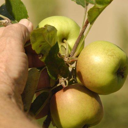Tràmec reivindica la manzanas tradicionales frente a las variedades comerciales