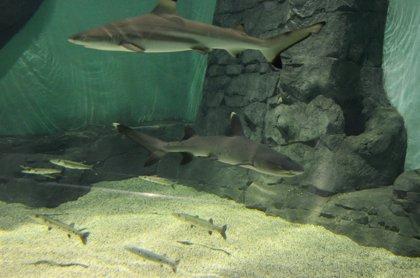 Cinco nuevos tiburones llegan al Acuario de Sevilla