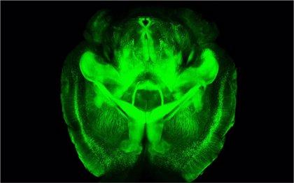 Describen un nuevo modelo para explicar las funciones del hipocampo