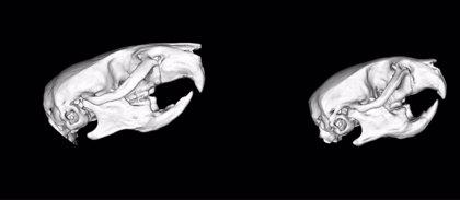 Crean un ratón que reproduce el síndrome Noonan