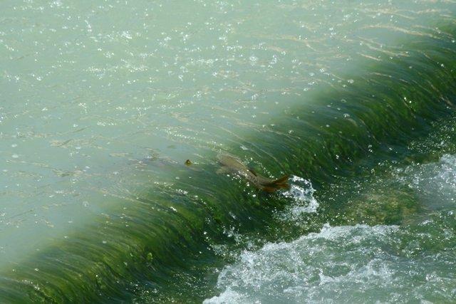 Peces Remontando Obstáculos En Segura