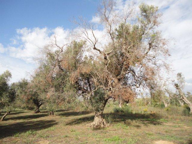 Efectos de la bacteria Xylella fastidiosa en un olivo
