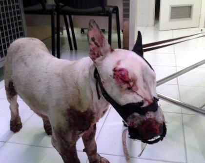 Rescatan en A Coruña a un ejemplar de bull terrier al que tiraron a un contenedor de basura