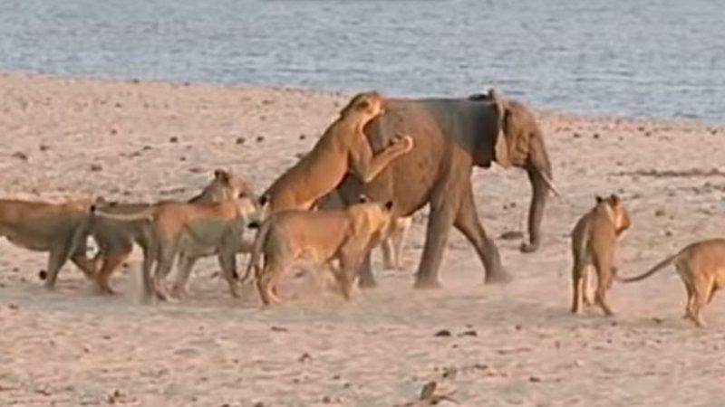 Vídeo de Youtube: Un bebe elefante sobrevive al ataque de 14 leonas