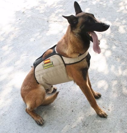 Una investigación de la CEU-UCH estudia los riesgos de golpes de calor en canes de Policía Militar que buscan explosivos