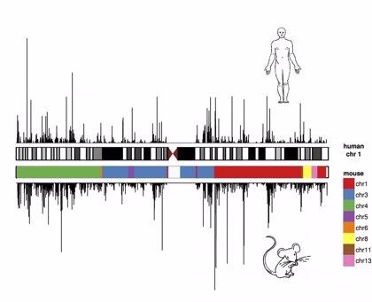 Validan el uso de ratones para testar fármacos por tener un genoma similar al de los humanos