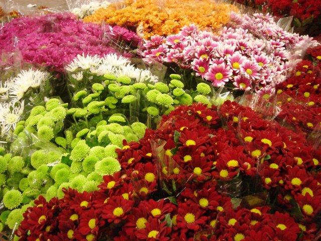 Variedad de crisantemos