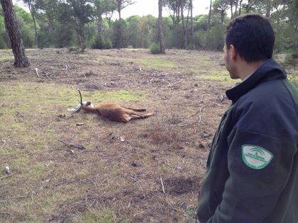 Rescatan a un ciervo tras cruzar a nado desde Doñana