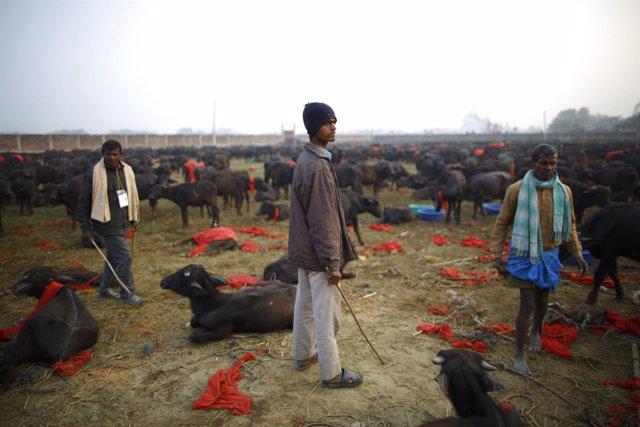 Ganaderos se preparan para el sacrificio de animales en el Ghadimai Mela, Nepal