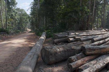 La tala de impacto reducido apoya la diversidad de los bosques