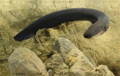 La anguila eléctrica funciona como una pistola Taser