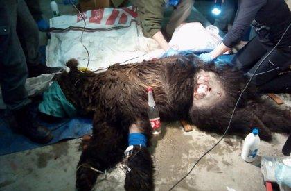"""Apuntan a causas """"no naturales"""" en la muerte de un oso"""