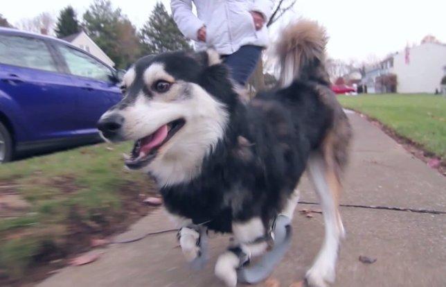 Derby, el perro discapacitado que camina con prótesis 3D