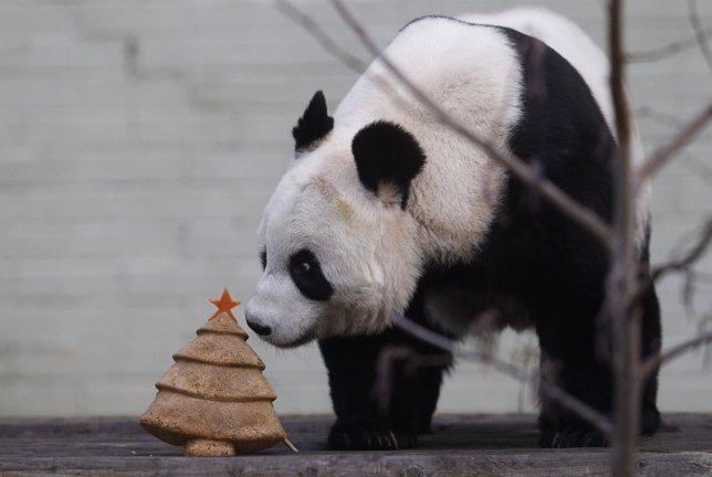 Tian Tian, un oso panda gigante se come una tarta de navidad