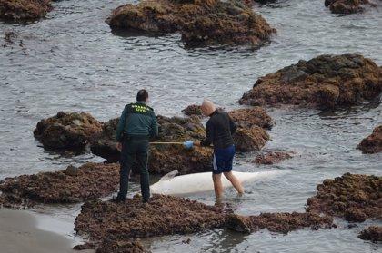 Retiran de una cala del Parque Natural de Cabo de Gata un calderón gris de casi tres metros hallado muerto
