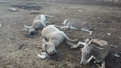 Ordenan sacrificar a más de 200 burros incautados en Arauca que mueren de hambre y sed