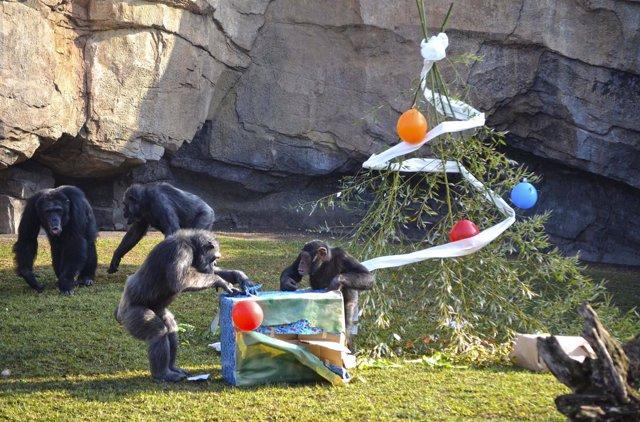 Un grupo de chimpancés abre regalos el día de Reyes