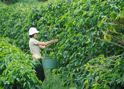 Café arábiga recorta subida por ventas de productores