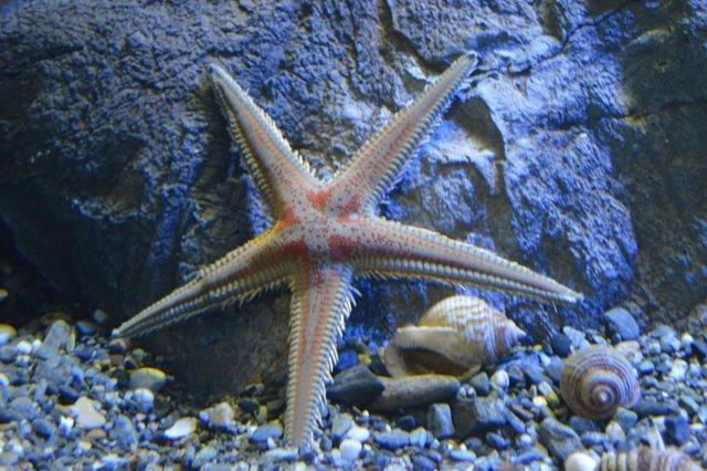 Nueva estrella de mar en el Acuario de Almuñécar
