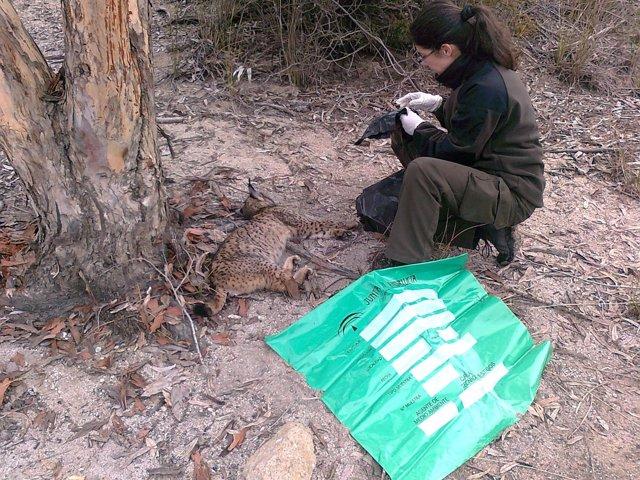 Un agente forestal levanta el cadáver de un lince ibérico