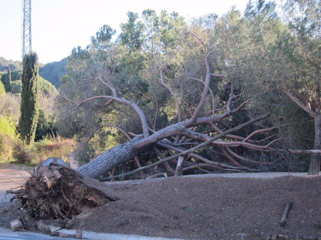 Pino caído por el temporal en Vallès Oriental.