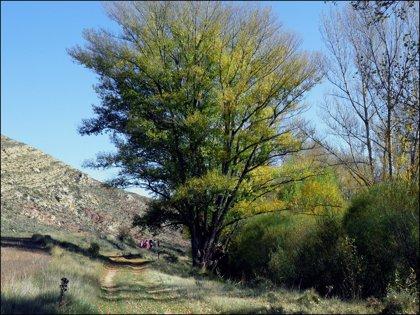 Un chopo de Teruel representa a  España
