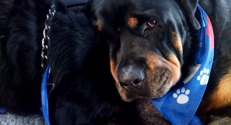 Desgarrador vídeo en que un perro Rottweiler llora la muerte de su hermano