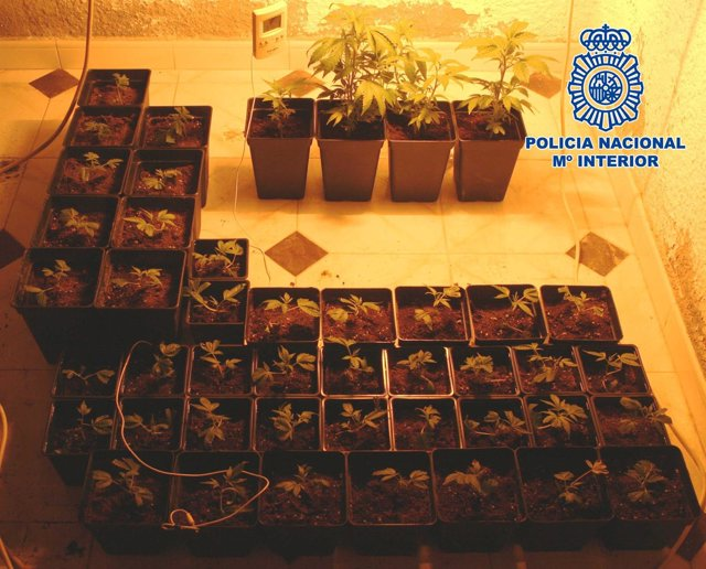Plantación de marihuana decomisada