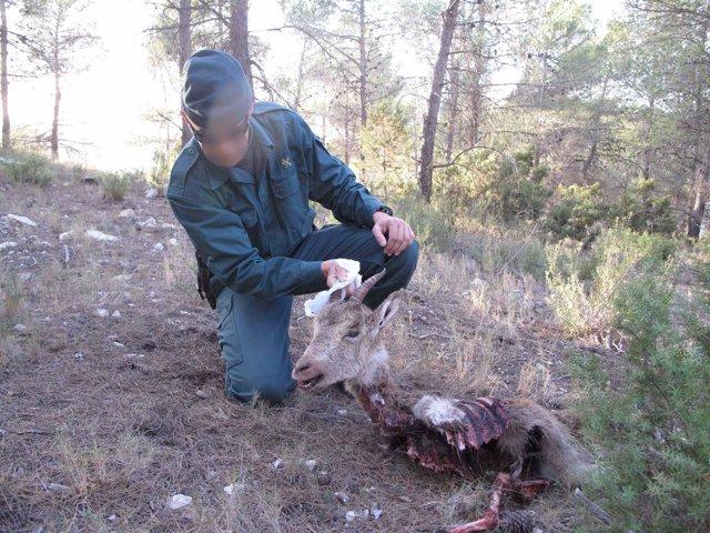 Ejemplar de cabra hispánica abatido en el parque natural de Sierra María
