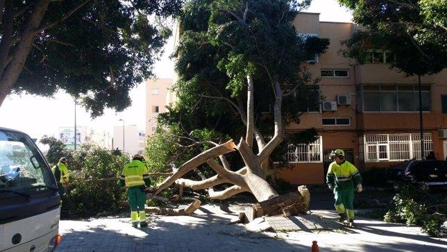 Operarios del Ayuntamiento retirar un arbol tronchado por el viento en Almería