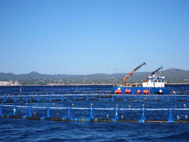 Granja De Engorde De Atún Rojo En L'ametlla De Mar