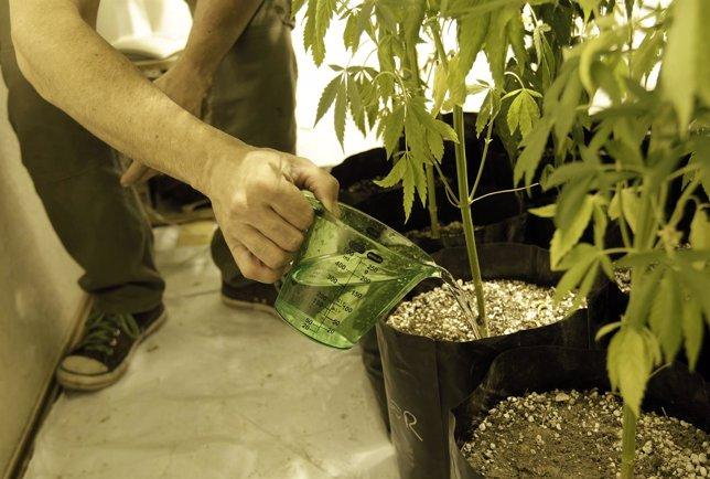 Plantación casera de marihuana en Uruguay