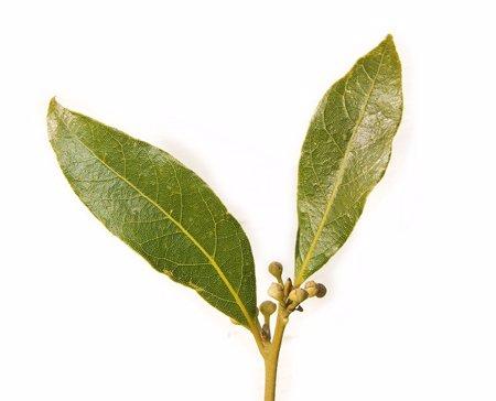 Bay_leaf_pair443.jpg