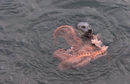 Vídeo: la increíble batalla entre una foca y un pulpo gigante