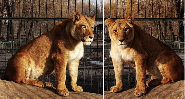 Leonas del zoo de Bélgorod