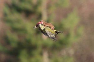 Una comadreja volando a lomos de un pájaro carpintero