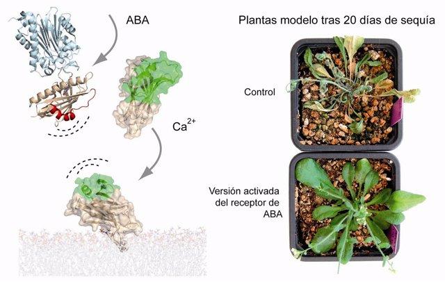Nueva familía de proteínas que controla la sequía