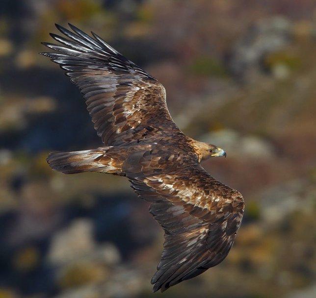 Cemex y Birdlife mejorarán hábitat del águila real