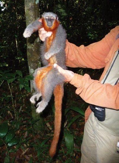 Descubren nueva especie de mono en la selva amazónica