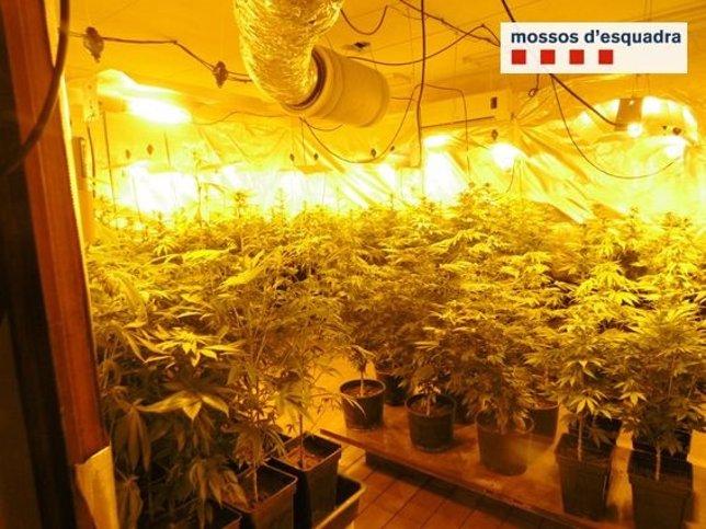 Plantación de marihuana en Darnius