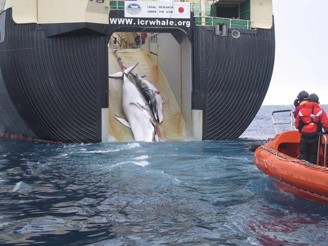 Buque factoría ballenero japonés Nisshin Maru