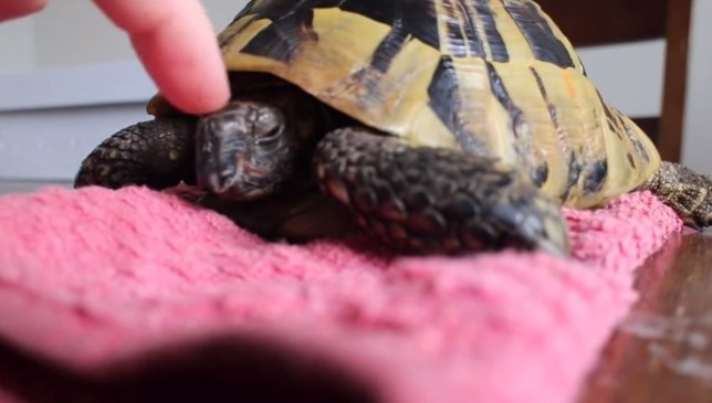Increíble vídeo del despertar de una tortuga que hibernaba en una nevera