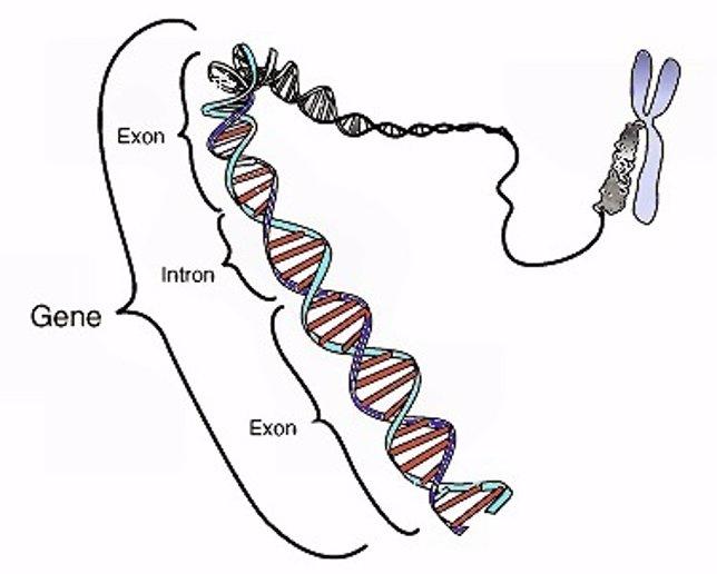 Región codificante en un segmento de ADN eucariota