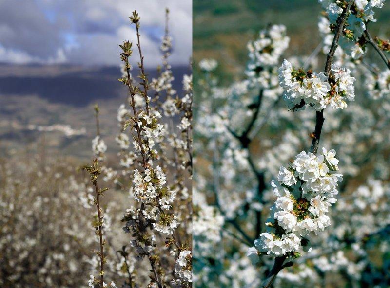 Rutas de los cerezos en flor para 2016