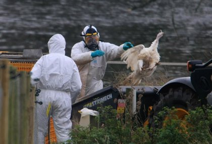 Detectan gripe aviar en una granja de pavos de California